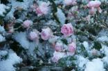 Rosenblüten im Schnee