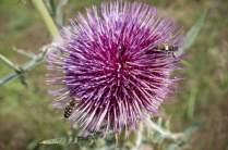 Distel mit Insekten