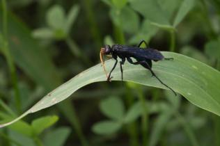 Insekt mit orangenem Fühler, Nil